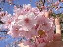 真っ先に開花する桜桜 苗木 さくら 河津桜 (かわづざくら) 1年生 接ぎ木 苗 庭木 落葉樹 シン...