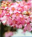 イギリス生まれの大きくならない桜桜 苗木 さくら おかめ桜 ( オカメザクラ ) 1年生接木苗 庭...