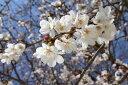 桜 苗木 さくら 染井吉野(ソメイヨシノ)1年生 接ぎ木 苗。 庭木 落葉樹 シンボルツリーサ…