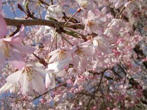 桜 苗木 さくら しだれ桜 枝垂れ染井吉野(シダレソメイヨシノ) 1年生 接ぎ木 苗 庭木 落…