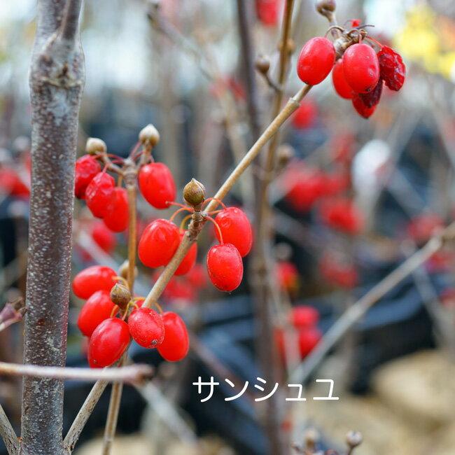 """大実サンシュユ """"ショリコ"""" ポット苗 庭木 落葉樹 低木"""