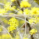 サンシュユ ポット苗 庭木 落葉樹