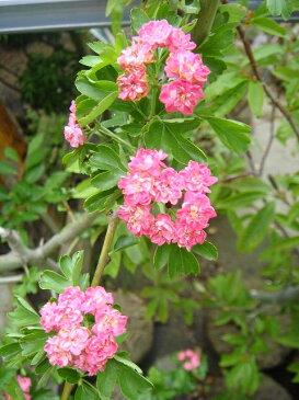 八重紅花サンザシ(メイフラワー)ポット苗 庭木 落葉樹 低木 【観賞花木】