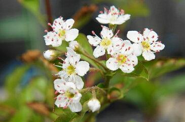 ルビーサンザシポット苗 庭木 落葉樹 低木 【観賞花木】