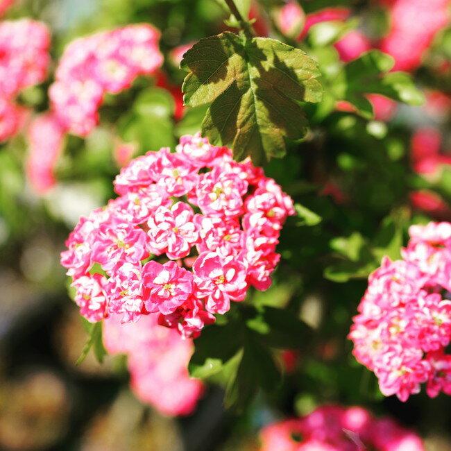 八重紅花サンザシ (メイフラワー) ポット苗 庭木 落葉樹 低木 【観賞花木】