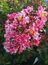 サルスベリ 幹も美しい夏の花。別名『ペパーミントレース』サルスベリ 苗 夏祭り ポット苗庭木 ...
