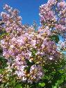 サルスベリ 苗 サルスベリ ピンク ポット苗 庭木 落葉樹 シンボルツリー