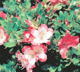 サツキツツジ 【 真如の月 】 赤、白、斑入りの3色咲き分け品種 さつき 苗 サツキ 庭木 常緑樹 ...