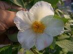 夏椿(ナツツバキ)シャラノキ (シャラの木) ポット苗 庭木 落葉樹 シンボルツリー 【観賞花木】