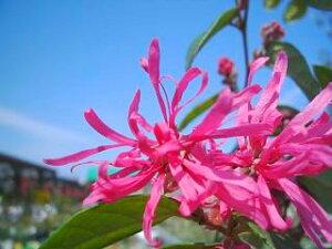 花で覆われるボーダーなら・・・赤葉紅花トキワマンサクH0.2m 4号ポット苗 庭木 常緑樹 生垣 目...