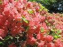 ツツジ 久留米ツツジ 【 雲の上(クモノウエ) 】 雲の上にいるようなすばらしいカラフルな花!...