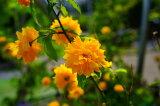 黄八重ヤマブキ 根巻き苗 ( ポット苗 ) 庭木 落葉樹 低木