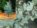 """ユーカリの木 寄せ植えや切花でおなじみのユーカリ。ユーカリの木 """"グニーユーカリ(サイダー..."""
