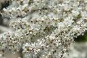 純白の水流のように咲く花ユキヤナギ
