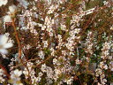"""温かい色彩の蕾が開花後は白になるピンクユキヤナギ""""フジノピンキー""""ポット苗"""