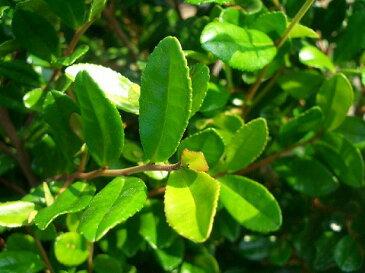 ハマヒサカキポット苗 生垣 目隠し 庭木 常緑樹