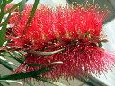 新品種のキンポウジュ色鮮やかなカリステモン金宝樹(キンポウジュ) ブラシノキ キャプテンク...