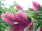 金宝樹(キンポウジュ) ブラシノキ ヴィオラセウス ( ビオラセウス )5号ポット苗 シンボルツリー 庭木 常緑樹