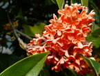 ■珍しい木■紅花キンモクセイ (木犀)フレグランスレッド 根巻き苗 シンボルツリー 生垣 目隠し 庭木 常緑樹