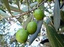新品種!ハーブの苗 オリーブの木 ホジブランコはスペイン原産のオリーブハーブの苗 オリーブの...