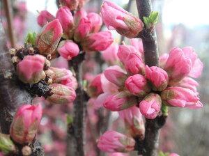ゆすらうめ 赤花ユスラウメ根巻き苗 庭木 落葉樹 シンボルツリー