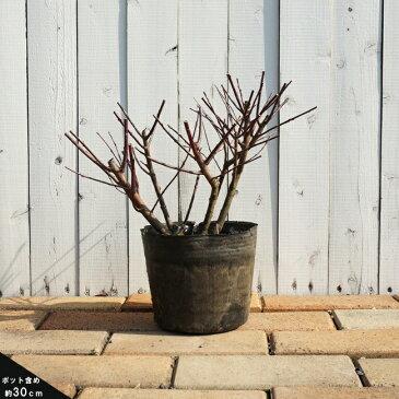 ハクロニシキポット苗 庭木 落葉樹 低木