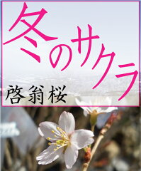 "TBS日曜ドラマのサクラはコチラ!小さめで可愛らしい花弁の桜 桜(さくら)""冬のサクラ""【啓..."