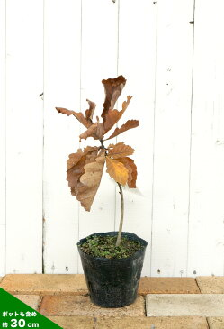柏の木 ( カシワノキ ) 庭木 落葉樹 シンボルツリー
