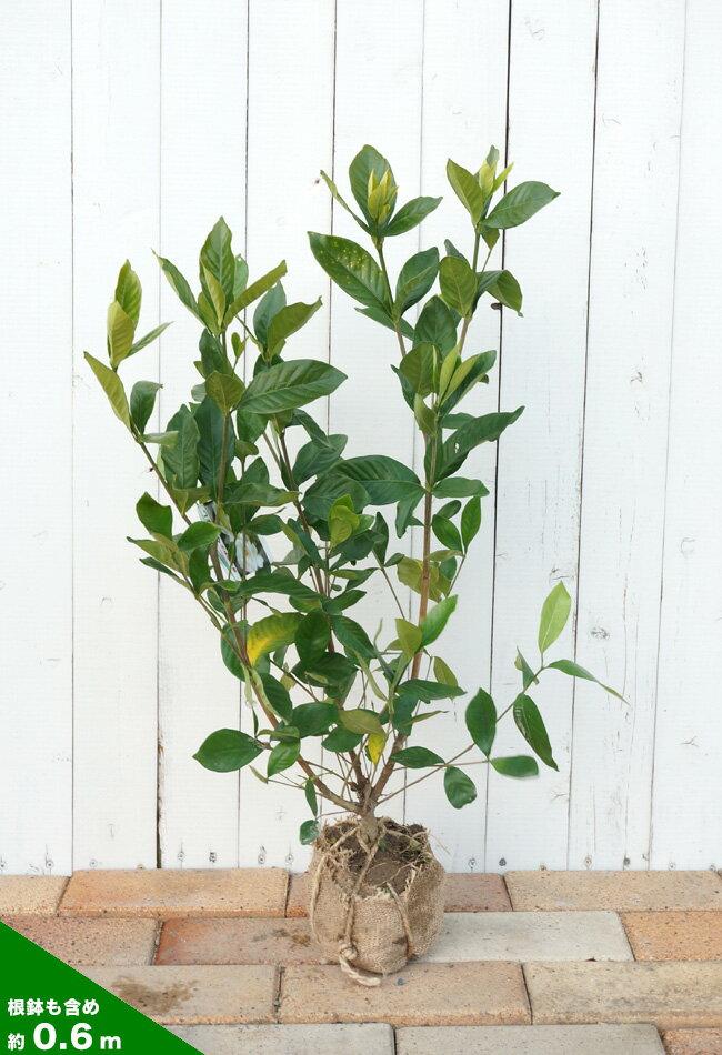 八重クチナシ            香りの女王。          濃緑の葉に映える濃厚な白い花です。                              八重咲きクチナシ クチナシの育て方