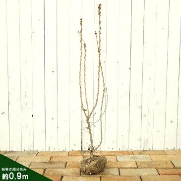 リキュウバイ 苗木 庭木 落葉樹 シンボルツリー