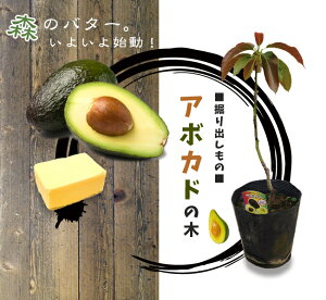 果樹 アボカドついに上陸!森のバターと呼ばれる栄養価の高い果物を家庭果樹栽培で! 熱帯植物...