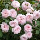 【バラ苗】 ジ・オルブライトン・ランブラー (ER) イングリッシュローズ 愛らしい花色 大輪バラ...