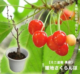 暖地サクランボミニ盆栽苗
