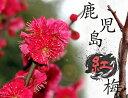 人気No1の赤いウメ鹿児島紅梅(カゴシマコウバイ)2年生苗 庭木 落葉樹 シンボルツリー
