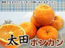 オレンジ 苗木 【 太田ポンカン 】 1年生 接ぎ木 苗 柑橘 果樹 果樹苗木
