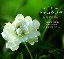 【バラ苗】 白 モッコウバラ 八重 (オールドローズ) ポット苗白色 強健