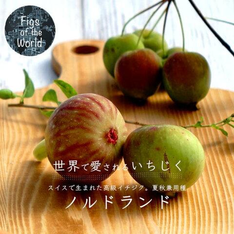 【世界のイチジク 苗木】 ノルドランド 1年生苗 無花果 果樹