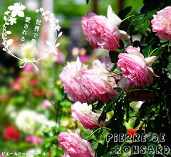 【バラ苗】 ピエールドゥロンサール 大苗 つるバラ 初心者に超おすすめ つる性 ピンク バラ …