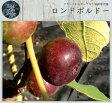 【世界のイチジク】 ロンドボルドー 2年生苗 果樹苗木 イチジク 果樹苗 いちじく 苗