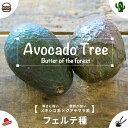 熱帯果樹 【森のバター】 アボカ...