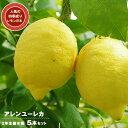 ■送料無料■ レモンの木 アレンユーレカレモン 2年生 接木...