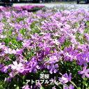 芝桜 ( シバザクラ ) アトロプルプレア 3号ポット苗 宿