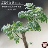山椒 サンショウ 苗 ぶどう山椒 根腐れ抵抗性台木使用 1年生 特等 接ぎ木 苗