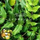 ヒイラギナンテン5号ポット苗木 グランドカバー 低木 庭木 常緑樹