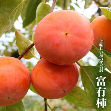 【 柿 苗木 :完全甘柿】 富有柿 (フユウガキ) 1年生 接ぎ木苗 果樹