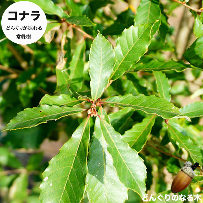 どんぐりの木 コナラ 1年生苗 庭木 落葉樹 シンボルツリー