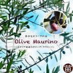 オリーブの木 マウリーノ 2年生苗 シンボルツリー 庭木 常緑樹