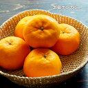 オレンジ 苗木 【 太田ポンカン 】 1年生 接ぎ木 苗 柑...
