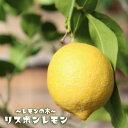 レモンの木リスボンレモン2年生 接ぎ木 苗木 6号スリット鉢植え又は角鉢植え 果樹苗木 レモン
