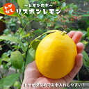 レモン 苗 レモンの木 選抜トゲなし リスボンレモン2年生 ...